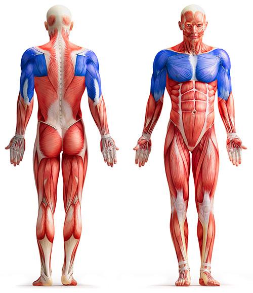 TCM Sportmedizin - Schulter und Oberarm